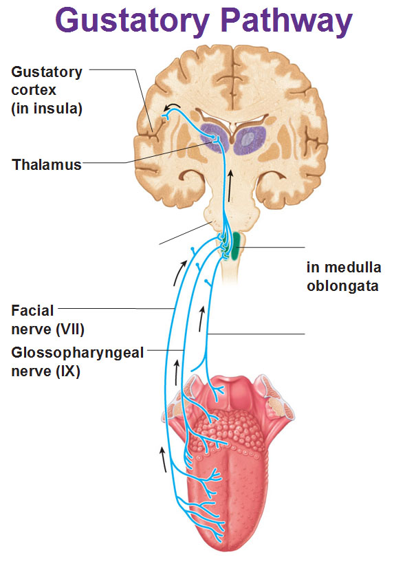 Taste gustation sensory nervous system gustatory pathway cortex in insula facial and glossopharyngeal ccuart Gallery
