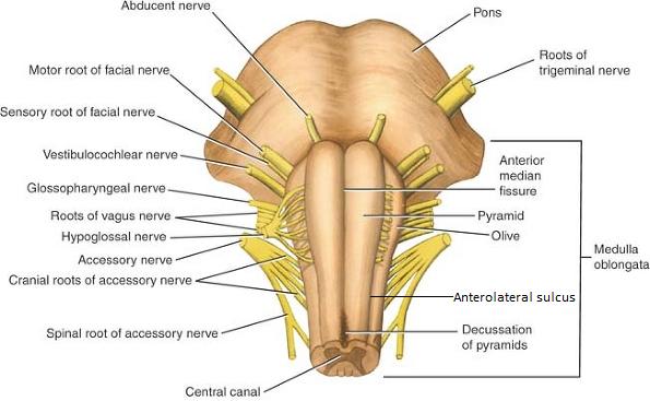 Brain | SENSORY & NERVOUS SYSTEM